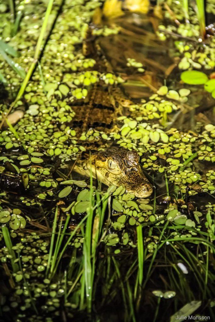 crocodile nature aquicuana reserve